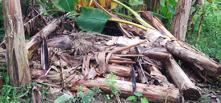 Revolution of textile by banana fiber- waste material